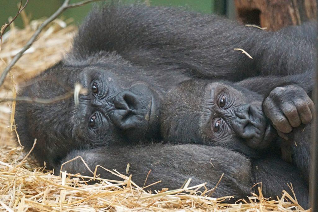 dating ape dating for 2 år ingen forpliktelse